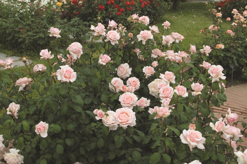 ©   ©rosebarni.it La rosa dedicata a Roberto Capucci